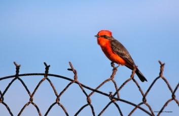 Male Vermilion Flycatcher