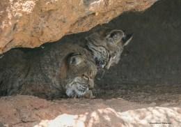 Kitties will be kitties-Bobcats bathing