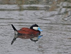Ruddy Duck! Dr. Suess inspired or what?