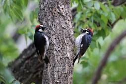 Acorn Woodpeckers