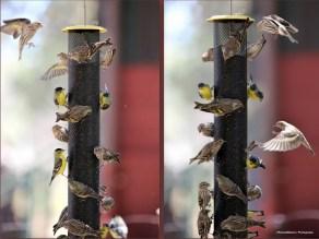 Goldfinch and Pine Siskin drama