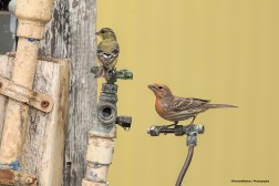 Lesser Goldfinch and House Finch