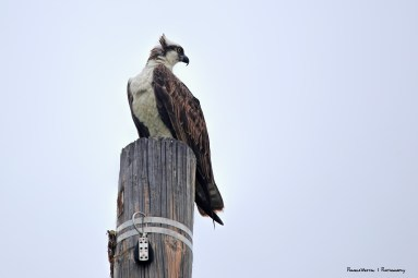 Osprey looking for lunch