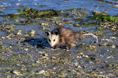 Baby possum at the beach...these Californians!