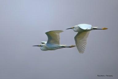 Snowy Egret flyby