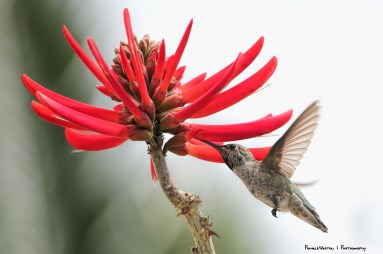 Coral Tree bloom and Anna's hummingbird