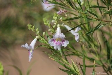 Desert Willow. How can this bloom at 106°?
