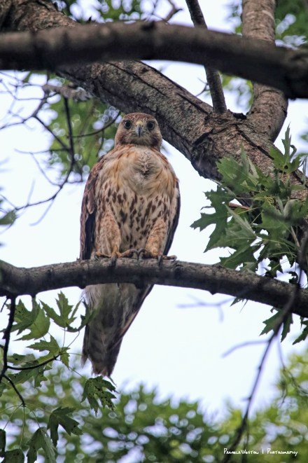 A juvenile Red Tail lived in the park. The Orioles were always chasing him away.
