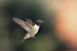 Mr. Black Chinned Hummmingbird