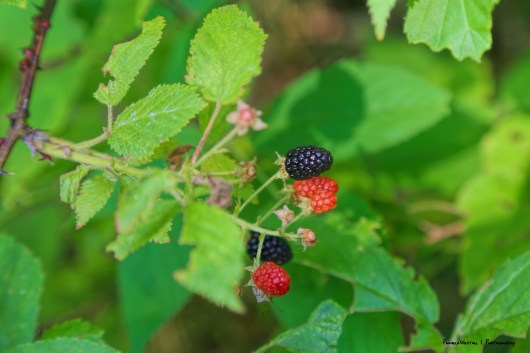 Blackberries in the woods