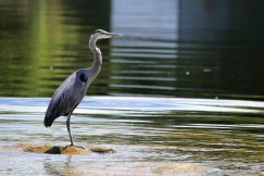 The lonely Great Blue Heron