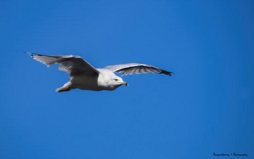Flyby. Ring Billed Gull