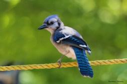 Very Blue Jay