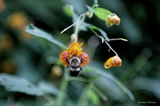 Bumble bee on wildflowers
