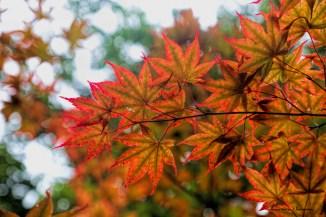 Beautiful maple