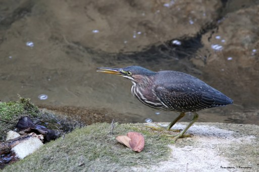A green Heron fishing in the creek