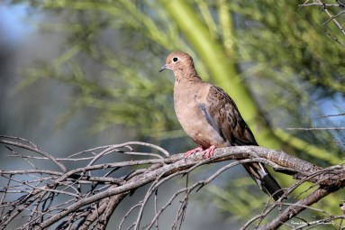 The ever present doves
