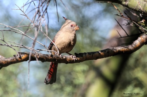 Female Pyrrhuloxia, always a mouthful!