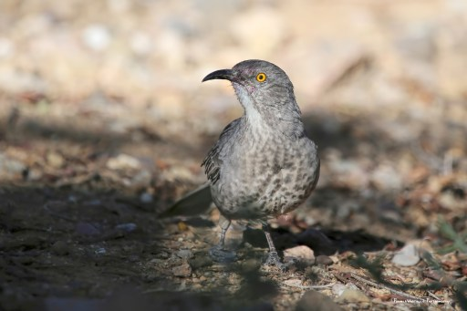 This Curved Billed Thrasher has been into the cactus fruit. His right foot is slightly mangled but he seems to get by.