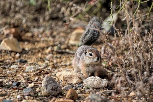 Cute Little Harris Antelope Squirrel