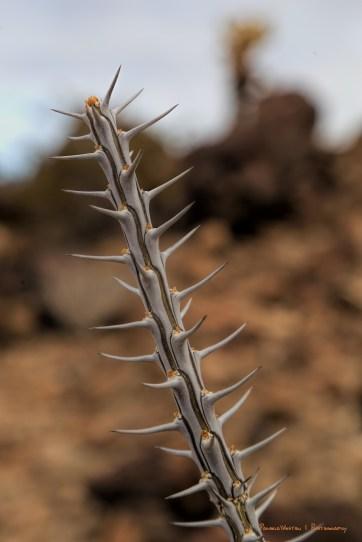 Ocotillo branch