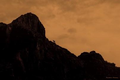The lone bighorn sheep
