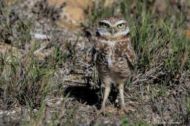 These amazing little chicken legs;) Burrowing Owl