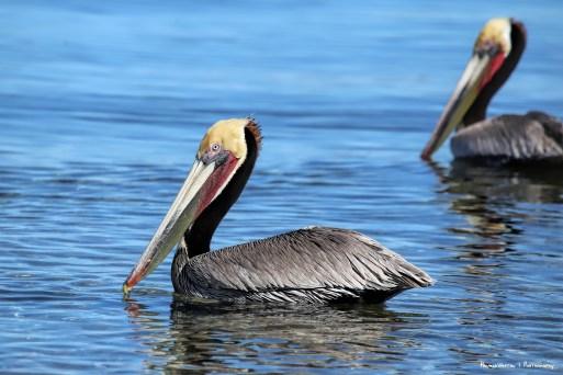 Beautiful breeding plummage