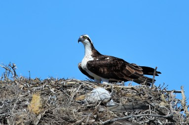 The resident Osprey nests on top of the palapa at the end of the Pier