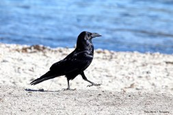 A silly walk from a Raven
