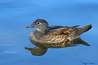 Mrs. Wood duck, subtle yet elegant