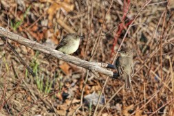 A pair of Eastern Phoebes