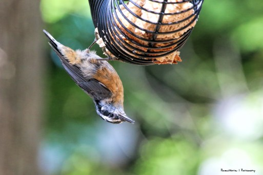 Juvenile Red Breasted Nuthatch