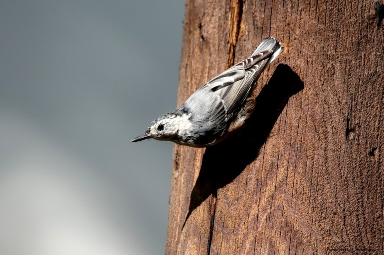White Breasted Nuthatch and his shadow