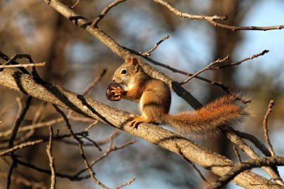 Red squirrel and his prize