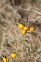 Beautiful fruits-Carolina Horsenettle(?)