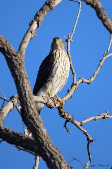 This Coopers Hawk had the small birds in a tizzy