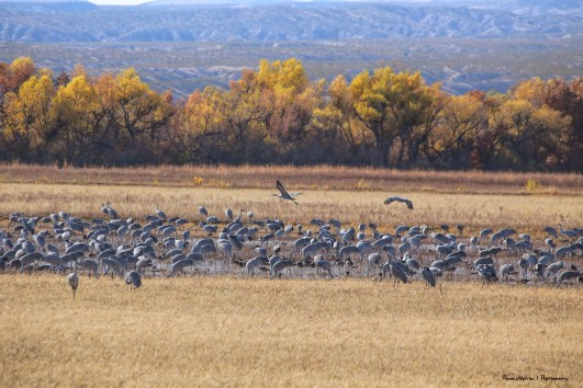 Greater and Lesser Sandhill Cranes feeding in the fields