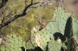 Love the cackle of the Cactus Wren