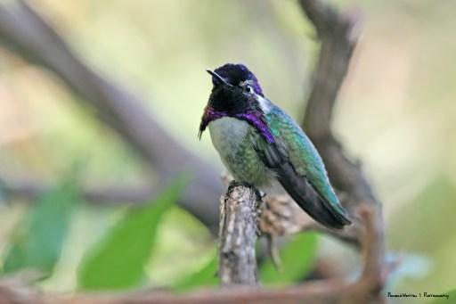 George, the resident Costas Hummingbird