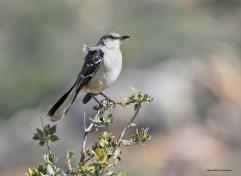 The resident Mockingbird