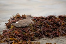A Willet rests on a pile of seaweed