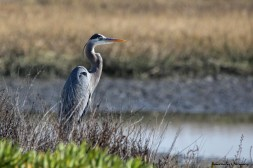 Great Blue Heron watching it's domain
