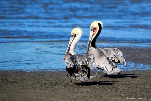 American Brown Pelicans breeding colour
