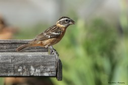 Mrs. Black Headed Grosbeak