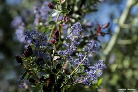 Ceanothus-Wild Lilac
