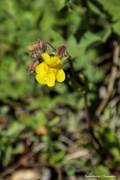 Common Monkey Flower