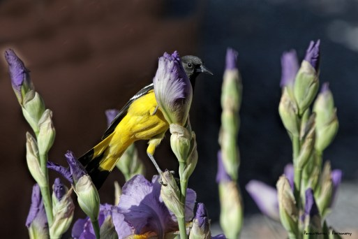 Scott's Oriole playing hide and seek in the Iris