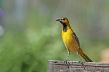 Young Hooded Oriole