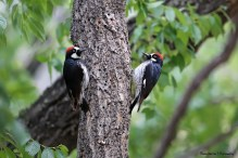 Our pair of Acorn Woodpeckers
